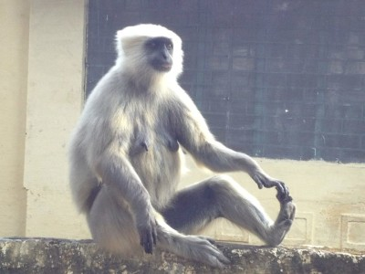 Rishikesh Monkey Doing Yoga